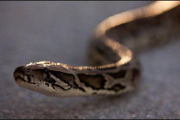 Secretos de como repta una serpiente