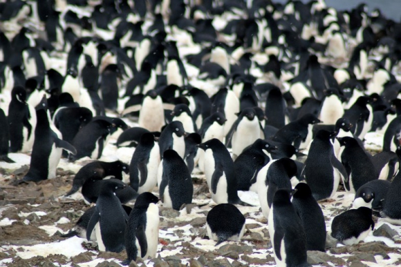 Así hallaron una desconocida colonia de pingüinos desde el espacio — Gran descubrimiento