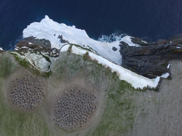 Los pingüinos adelaida encontrados en las islas Danger. Foto: AFP