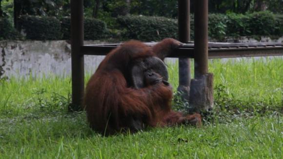Orangután fumador crea polémica en Indonesia