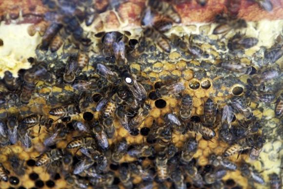 Muchas abejas en la Expo Melilla. Foto: Marcelo Bonjour