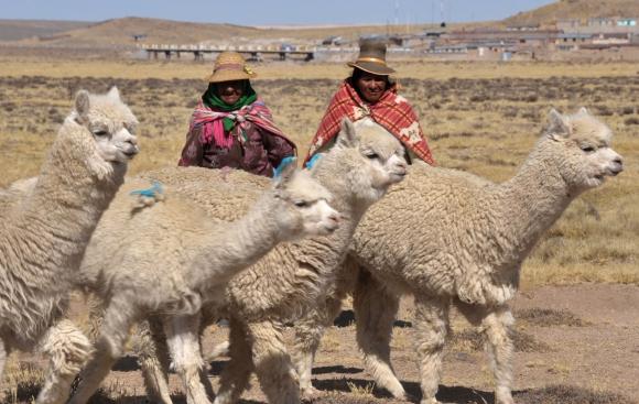 Alpaca de los Andes