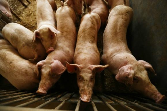 Cerdos: un grupo de médicos identificó que el 46,8% de los cerdos de las granjas del país portan el virus de un nuevo tipo de hepatitis. Foto: Reuters