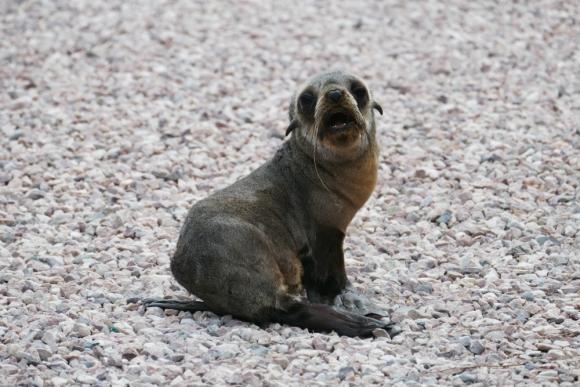 Joaquín, uno de los lobos que está en SOS Rescate Fauna Marina