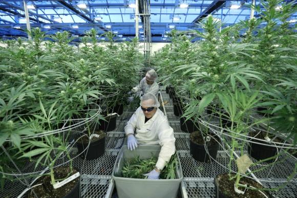 Cultivo de marihuana. Foto: Reuters