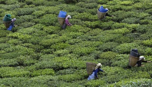 Temi. La plantación de té en Sikkim produce entre 80 y 100 toneladas al año. Foto: Reuters.