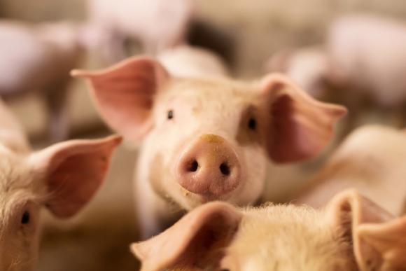 Gigantes. Alibaba y JD.com trabajan con los cerdos. Foto: Shutterstock.