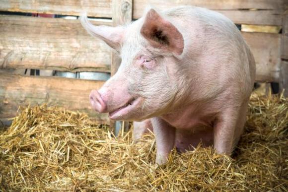Dudas. Muchas de los criadores de cerdos chinos son escépticos. Foto: Shutterstock.