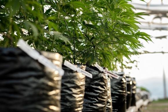 Desde que el país reguló el consumo de marihuana año a año recibe un apercibimiento de la ONU por contravenir los tratados que suscribió sobre drogas. Foto: Santiago Rovella.