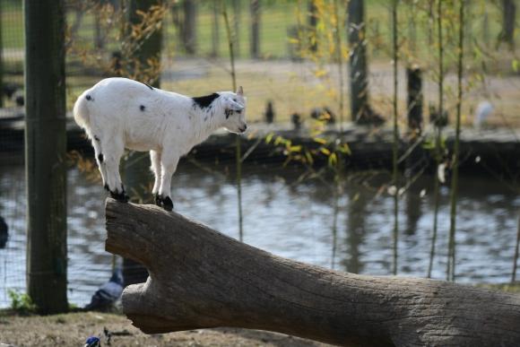 Cabras: eran la gran atracción antes del brote de tuberculosis. Foto: Leonardo Mainé
