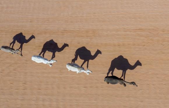 Camellos. Foto: AFP