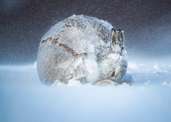 Gran premio: Bola de liebre. Foto: Big Picture Natural World Photography 2020