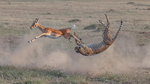 Vida terrestre salvaje: Caza de guepardo en Masai Mara. Foto: Big Picture Natural World Photography 2020