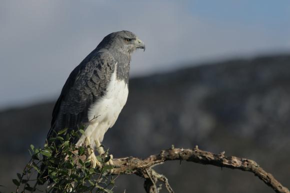 Aguila Mora. Foto: Naturaleza en casa