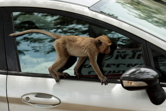 Mono macaco. Foto: AFP
