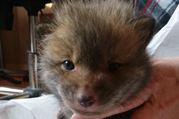 """Japonés rescató a un """"perrito"""" de la calle y se llevó una sorpresa: era un zorro. Foto: @marcy_com"""