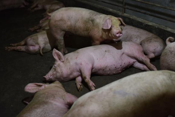 Investigación por gripe porcina. Foto: AFP