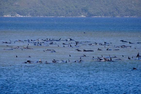 Más de 270 ballenas varadas en Australia. Foto: Reuters
