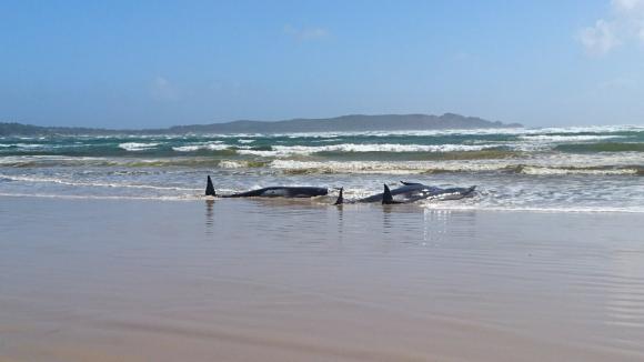 Ballenas en Tasmania. Foto: Reuters