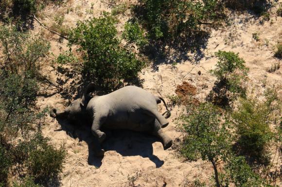 Elefantes murieron por cianobacterias. Foto: AFP