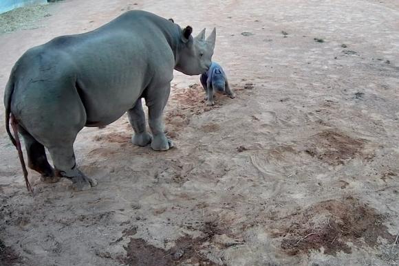A strange black rhinoceros was born in Australia.  Photo: La Nacion GTA