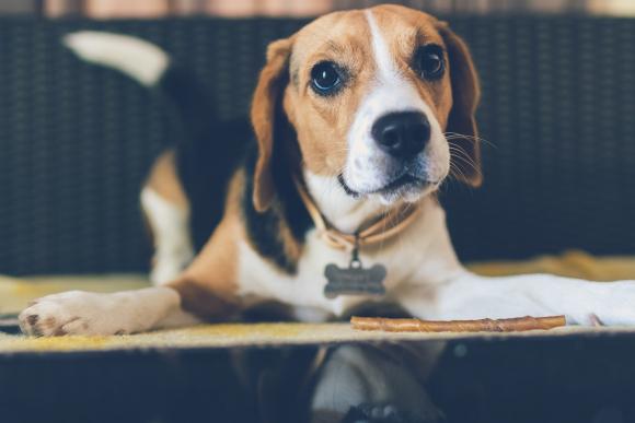 Beagle breed dog.  Photo: Pexels
