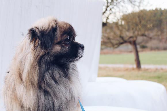 Pekingese dog.  Photo: Pexels
