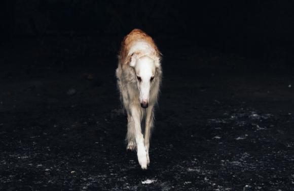 Borzoi or Russian greyhound breed dog.  Photo: Pexels