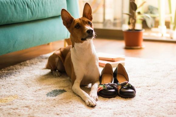 Basenji breed dog Photo: Pexels