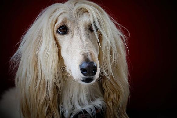 Afghan hound dog Photo: Piqsels