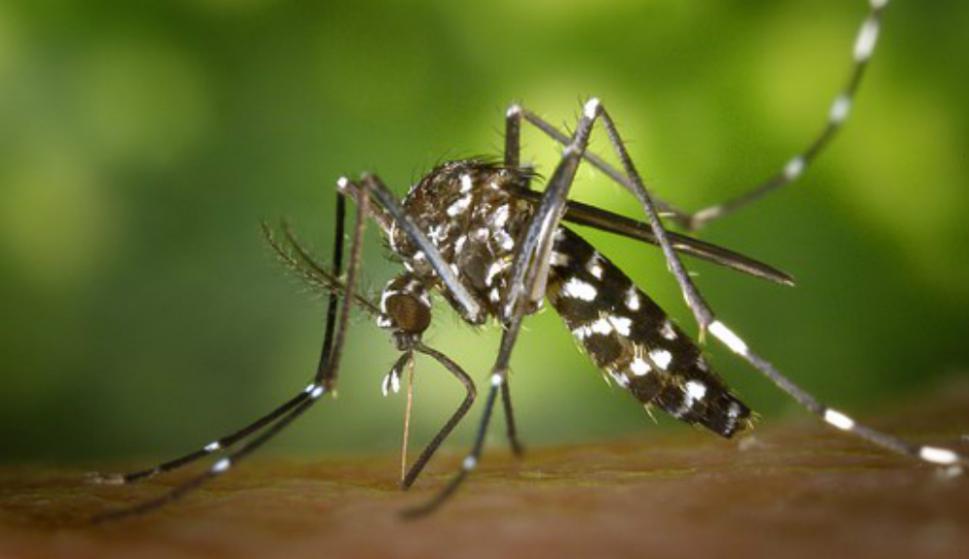 """Alerta en Europa por el """"mosquito tigre"""", capaz de transmitir hasta 22 virus - 29/05/2020 - EL PAÍS Uruguay"""