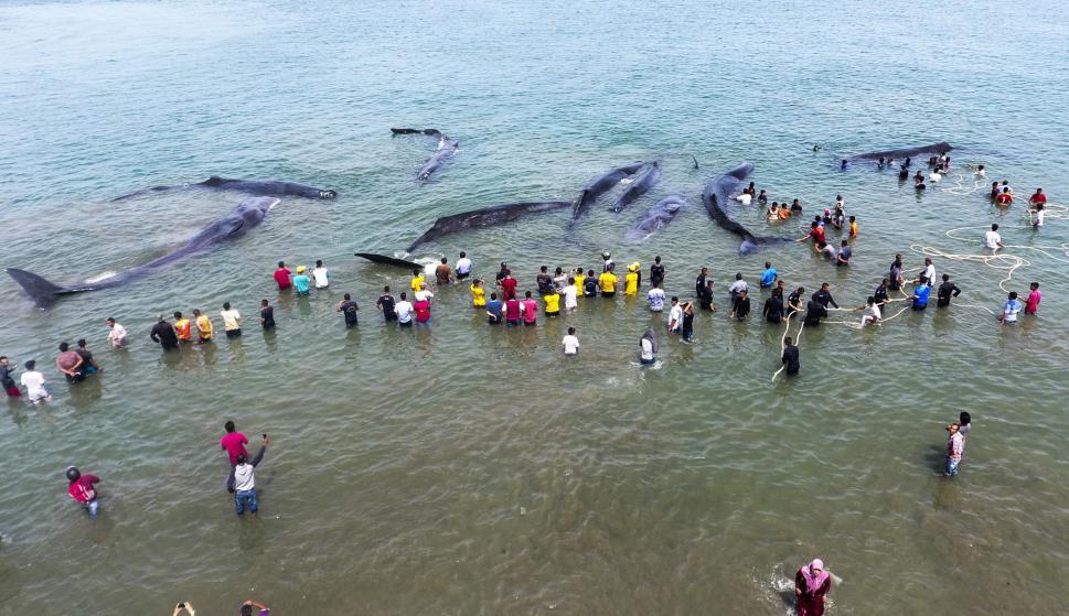 Cachalotes varados en Indonesia. Foto: AFP