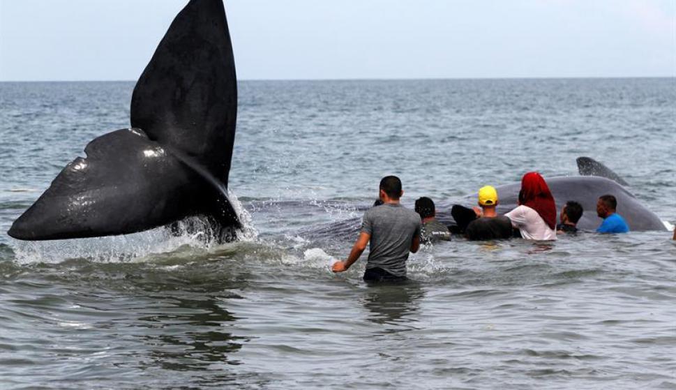 Cachalotes varados en Indonesia. Foto: EFE