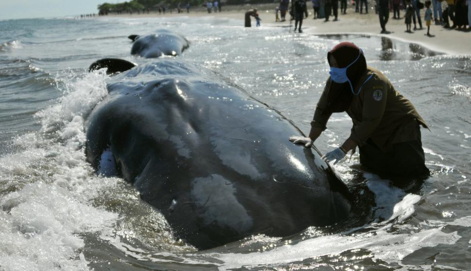 Cachalotes varados en Indonesia. Foto: Reuters