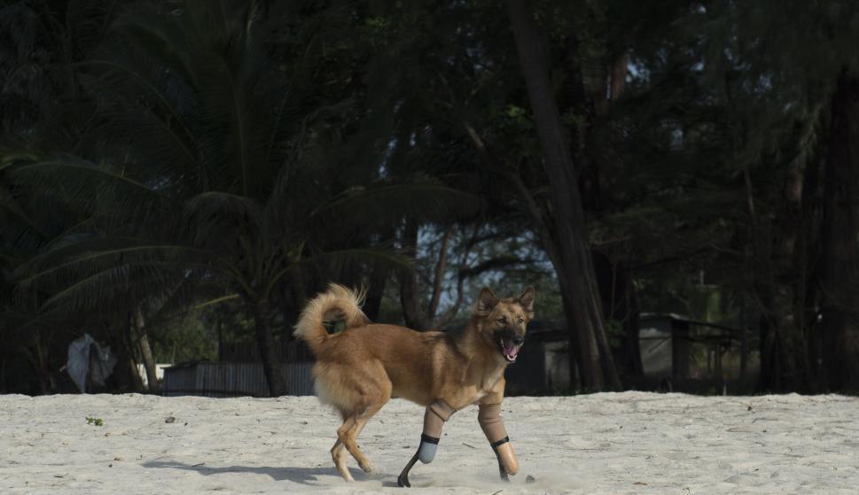 Cola, el perro tailandés que usa prótesis. Foto: AFP