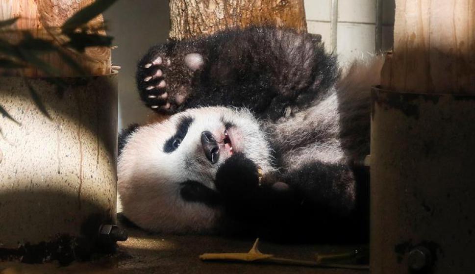 El bebé panda Xiang Xiang presentado en zoo de Tokio