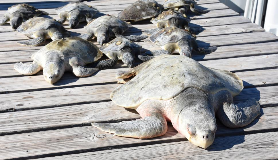 Iguanas y tortugas se congelaron debido a las bajas temperaturas. Foto: Reuters