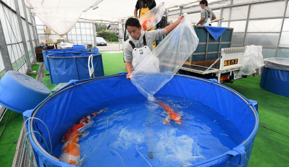 El arte de criar carpas Koi. Foto: AFP