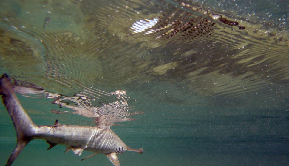 Así funciona la reserva de tiburón martillo en Ecuador.
