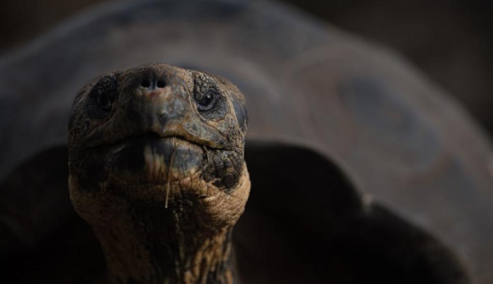 La tortuga gigante de las islas Galápagos. Foto: AFP