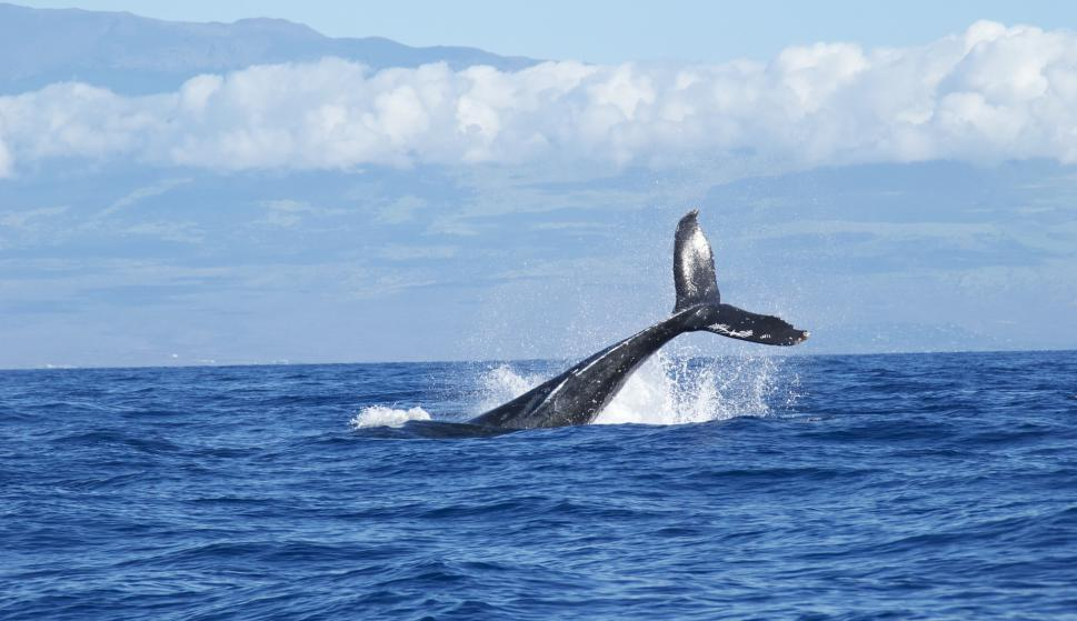 Ballenas gigantes usan estructura única de nervios para alimentarse ...