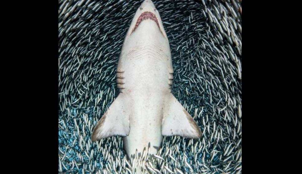Un tiburón toro atraviesa justo el centro de una bola de cardúmen. Foto: Tanya Houppermans/UPY 2018