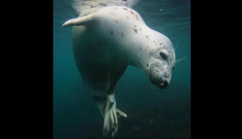 Una joven foca gris en aguas de las islas Farne . Foto: Vicky Paynter/UPY 2018