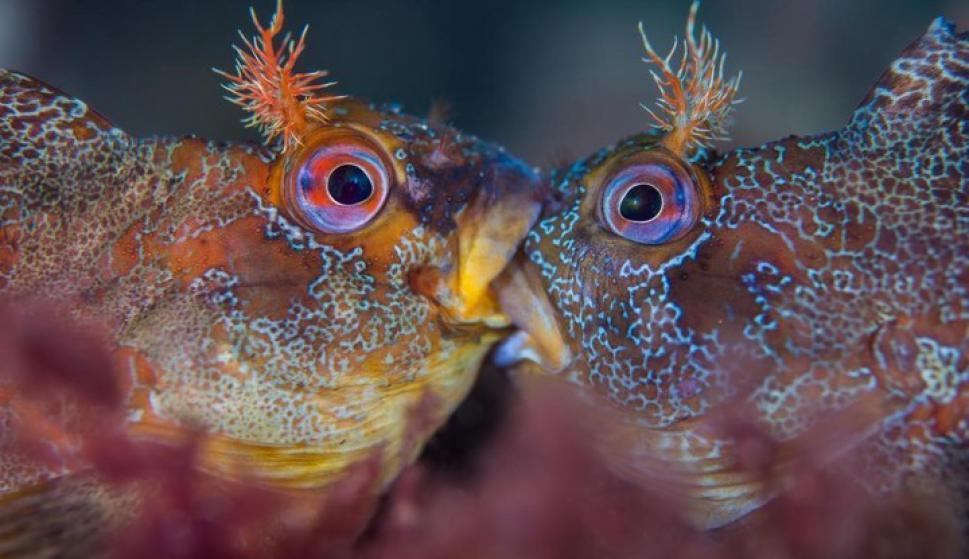 Dos machos de los peces blénidos, llamados cabruzas, no están besándose sino todo lo contrario, están en medio de una feroz batalla por el derecho a reproducirse con una hembra.Foto: Henley Spiers/UPY 2018