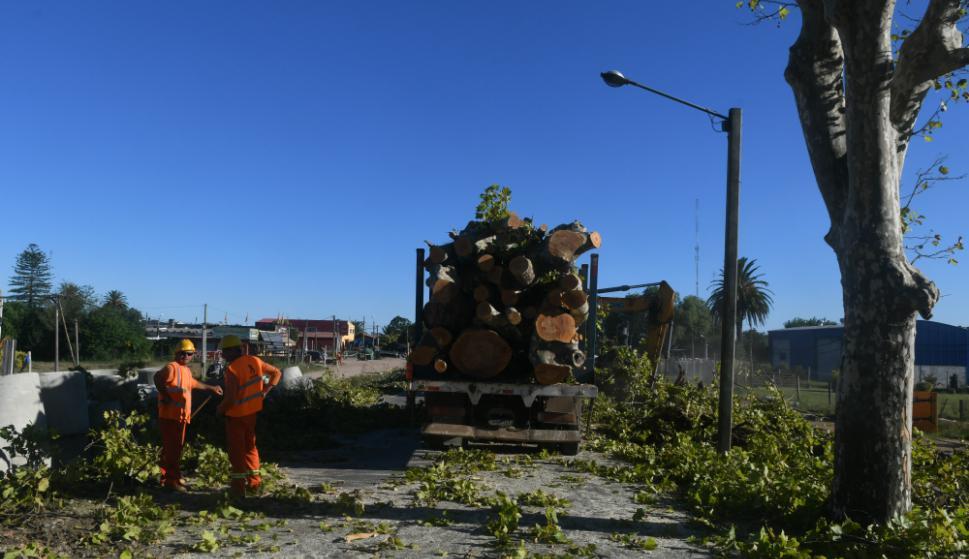 Solo 18 árboles de 130 a quitar podrán ser trasplantados en espacios urbanos de la zona. Foto: F. Flores