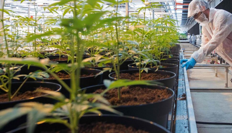 Señalan que Uruguay debe apuntar a la investigación en la industria del cannabis medicinal. Foto: AFP