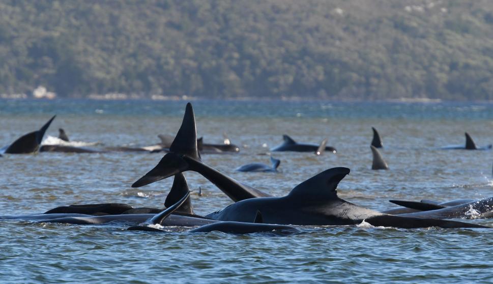 Más de 270 delfines quedaron varados en un banco de arena en Australia – 21/09/2020