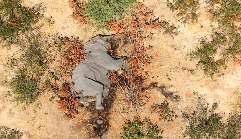Botsuana: descubrieron el porqué de las 300 misteriosas muertes de elefante este año – 22/09/2020