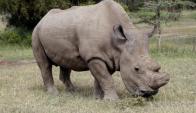 Sudán es el último rinoceronte blanco del norte macho que existe. Foto: Reuters.