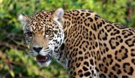 Agustina Carbajal aseguró que el jaguar es tan grande como un perro mastín napolitano.